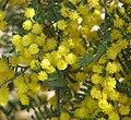 Acacia cardiophylla RBGC.jpg