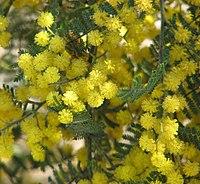 Acacia cardiophylla RBGC