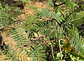 Acacia catechu 01.JPG