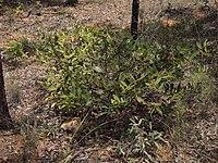 Acacia complanata habit.jpg