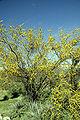 Acacia constricta WPC.jpg