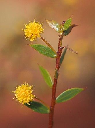 Acacia maitlandii - Acacia maitlandii flowers and foliage
