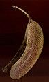 Acacia robusta02.jpg