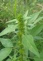 Acalypha rhomboidea kz01.jpg