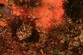 Acanthemblemaria exilispinus.jpg
