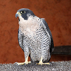 Accipiter gentilis -injured Goshawk.jpg