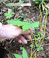 Achlys triphylla (vanillaleaf) - Flickr - brewbooks.jpg