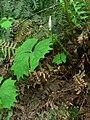 Achlys triphylla 10662.JPG