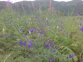 Aconitum in its natural habitat.png