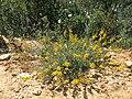 Adenocarpus - Ginesta (19470843301).jpg
