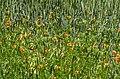 Adonis aestivalis plant (05).jpeg