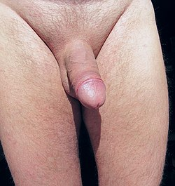 Adult male external genitalia.jpg