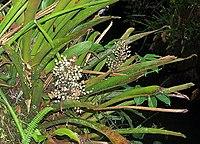 Aechmea angustifolia (18883966923).jpg