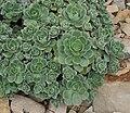 Aeonium haworthii 03.jpg