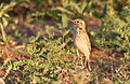 African Pipit, Anthus cinnamomeus, at Mapungubwe National Park, Limpopo, South Africa (18127341798).jpg
