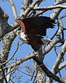 African fish eagle, Haliaeetus vocifer, at Lake Chivero, Harare, Zimbabwe (21908303746).jpg