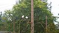 African sacred ibis (Threskiornis aethiopicus) (2).jpg