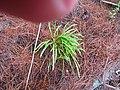 Agapanthus praecox orientalis Willd. (AM AK357644-3).jpg