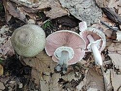 Agaricus bohusii 771789.jpg
