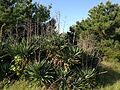 Agave and pine trees in Umino Nakamichi Seaside Park.JPG