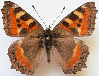 <i>Aglais rizana</i> species of insect