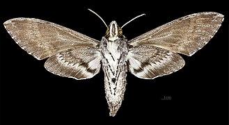 Agrius cingulata MHNT CUT 2010 0 208 Itatiaia National Park Brazil female ventral.jpg
