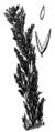 Agrostis exarata drawing.png