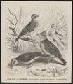 Alauda arvensis - 1700-1880 - Print - Iconographia Zoologica - Special Collections University of Amsterdam - UBA01 IZ16100325.tif