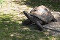 Aldabrachelys gigantea (Tortue géante des Seychelles) - 380.jpg