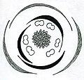 Alisma floral diagram.jpg