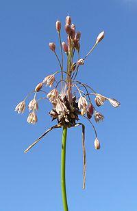 Allium oleraceum 010807