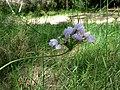 Allium roseum (8744269541).jpg