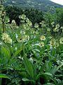 Allium victorialis PID1416-1.jpg