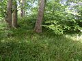 Alloway Motte and Court Hill, Ayr, South Ayrshire, Scotland. Summit bank.jpg