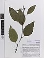 Alnus rhombifolia Nutt. (AM AK374684).jpg