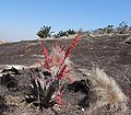 Aloe chabaudii 6 - Ribaue (9562985202).jpg