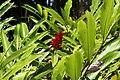 Alpinia purpurata 23zz.jpg