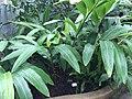 Alpinia zerumbet - shell ginger.jpg