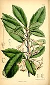 Alseuosmia macrophylla.jpg