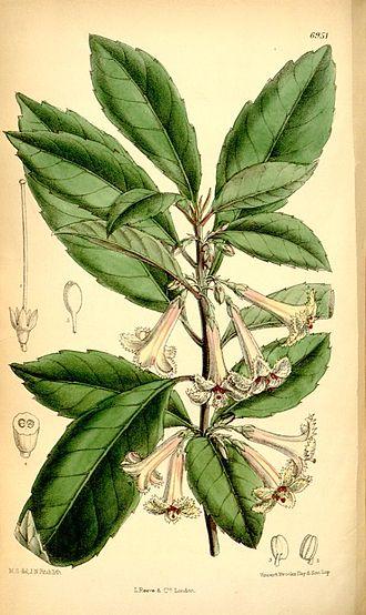 Alseuosmiaceae - Alseuosmia macrophylla