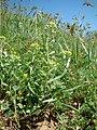 Alyssum hirsutum 30693405.jpg