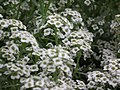 Alyssum or Lobularia maritima from Lalbagh flower show Aug 2013 8194.JPG