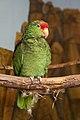 Amazona hybrid -Hogle Zoo-8a.jpg