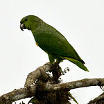A green parrot with a green-yellow underside