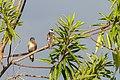 American Kestrel Halcón Primito (Falco sparverius isabellinus) & Pearl Kite Cernícalo (Gampsonyx swainsonii leonae) (23768480922).jpg