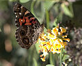 American Painted Lady.jpg