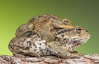 Amplexus - European common  toad (Bufo bufo).