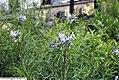 Amsonia hubrichtii 2zz.jpg