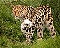 Amur Leopard (219987133).jpeg