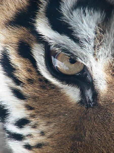 Fichier:Amur Tiger Panthera tigris altaica Eye 2112px.jpg